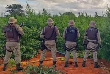 Polícias Civil e Militar erradicam mais de 200 mil pés de maconha em 24h   Divulgação   SSP-BA