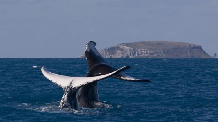 Os dados são dos pesquisadores do Projeto Baleia Jubarte, que há 32 anos monitoram as baleias que vêm ao litoral baiano para o período reprodutivo   Foto: Divulgação - Foto: Foto: Divulgação