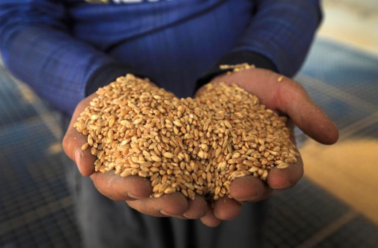 Brasil compra no exterior cerca de 60% do total de trigo que consome | Foto: Safin Hamed | AFP - Foto: Safin Hamed | AFP