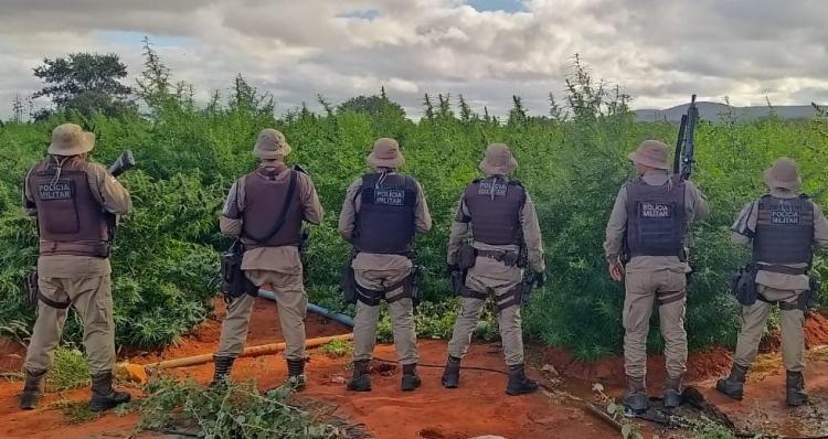 Além da plantação, também foram localizados 10 kg da erva ensacados e prontos para comercialização | Foto: Divulgação | SSP-BA - Foto: Divulgação | SSP-BA