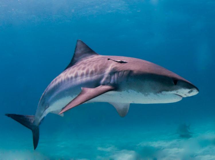 Tubarão tinha aproximadamente 120 kg e três metros de cumprimento | Foto: Divulgação - Foto: Divulgação