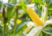 Estimativa para safra baiana de grãos em 2020 é 15% maior, diz IBGE | Foto:
