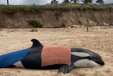 Especialistas decidem sacrificar filhote de orca encalhado em Guarajuba | Reprodução | Instagram