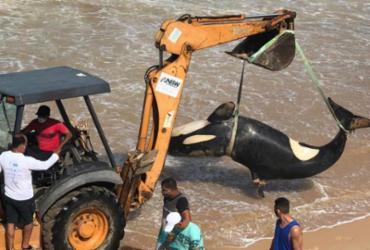 Após ser sacrificado, filhote de orca é retirado de praia em Guarajuba | Cidadão Repórter | A TARDE
