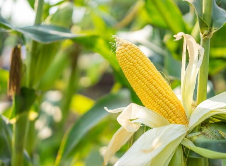 Aumento ocorreu por conta da estimativa de produção baiana de milho - Foto: Freepik