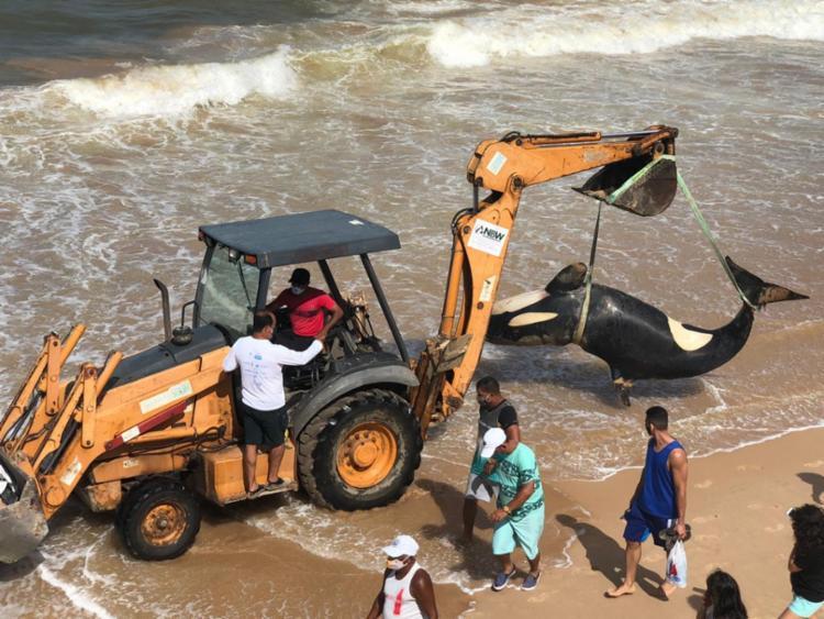 Aparecimento de baleias orcas é raro no litoral baiano | Foto: Cidadão Repórter | A TARDE - Foto: Cidadão Repórter | A TARDE