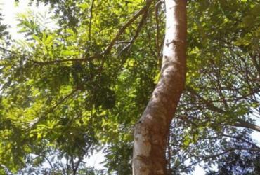 Brasil: único país do mundo que tem nome de árvore e a Bahia tem | Divulgação