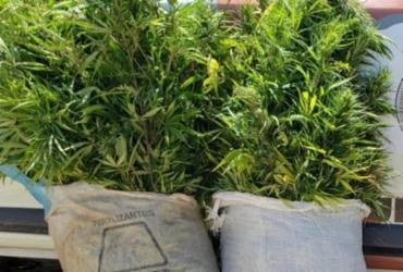 Plantações de maconha são encontradas e destruídas no interior da Bahia | Divulgação | SSP