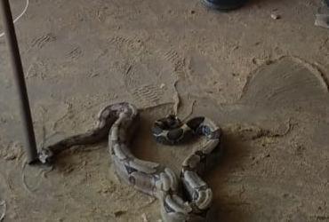 jibóia de mais de um metro é encontrada em residência em Ibotirama