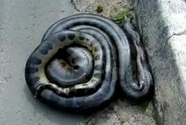 Cobra de 2 metros é encontrada às margens da avenida 29 de Março | Reprodução | Redes Sociais