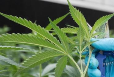 ONU retira maconha de lista das drogas mais perigosas   AFP