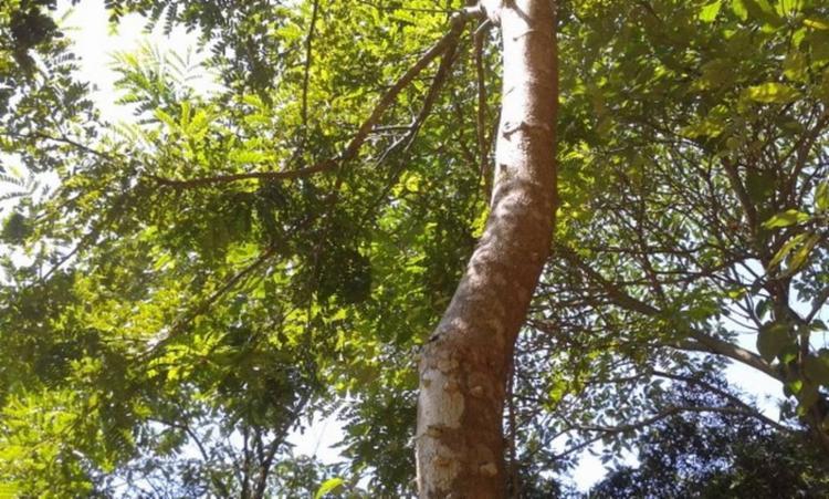 Árvore está no DNA do Brasil | Foto: Divulgação - Foto: Divulgação