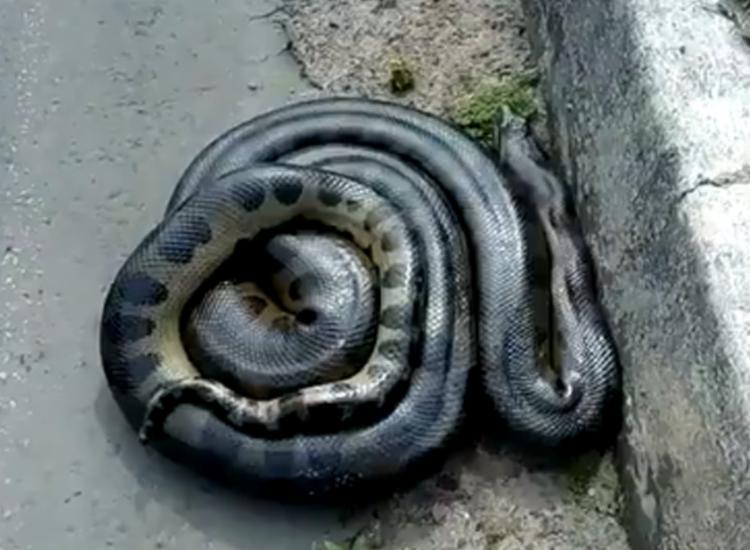Esta é a segunda cobra encontrada em ruas da capital baiana nesta semana | Foto: Reprodução | Redes Sociais - Foto: Reprodução | Redes Sociais