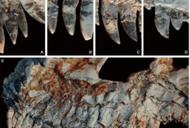 Fóssil achado em MG pode revelar novidades sobre dinossauros | Divulgação | Muséum National d'Histoire Naturelle