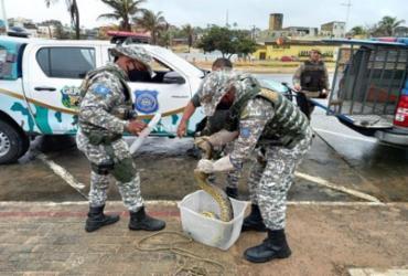 Sucuri e mais um jacaré são resgatados na praia de Jaguaribe   Divulgação