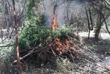 Trio é preso em plantação ilegal de maconha na Bahia