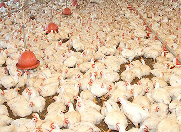 Produção de frangos para corte e galinhas poedeiras teve aumento em 2019 - Foto: Reprodução | Agroceres Multimix