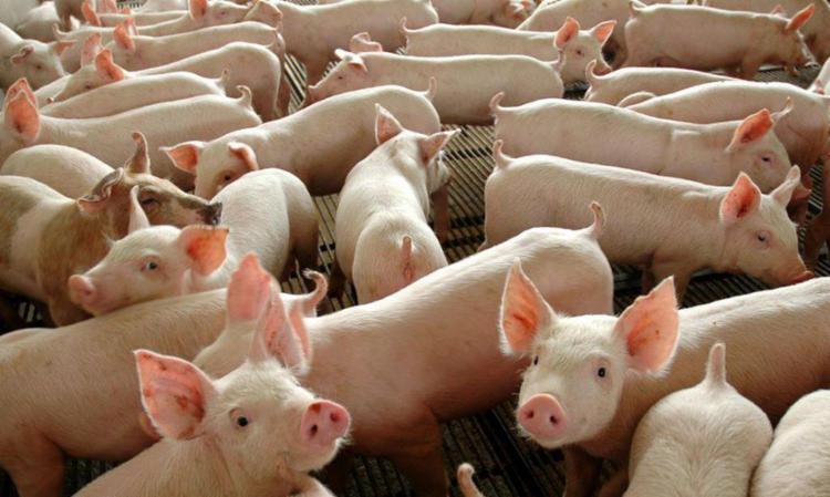 O caso ocorreu em criatório de suínos para subsistência | Foto: Divulgação | Governo Federal - Foto: Divulgação | Governo Federal