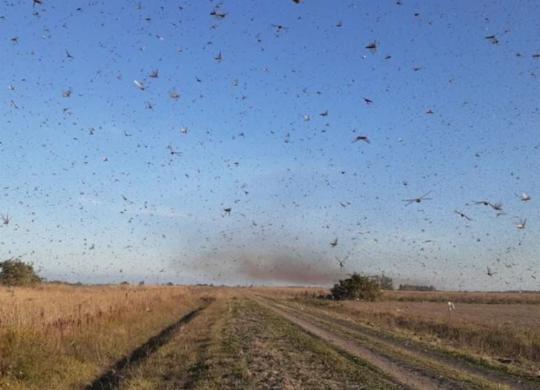 Governo argentino localiza nova nuvem de gafanhotos próxima ao Brasil   Reprodução   Twitter