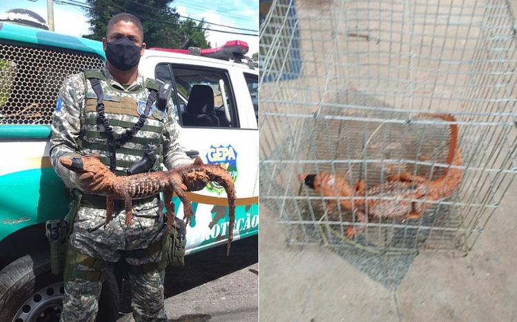 Animal ficará de quarentena em centro de triagem, antes de voltar para a natureza I Foto: Divulgação/GCM - Foto: Divulgação/GCM