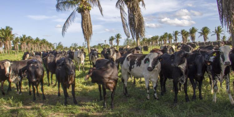 Região com maior produção de leite na Bahia é o Centro-Sul   Foto: Divulgação   Seagri - Foto: Divulgação   Seagri