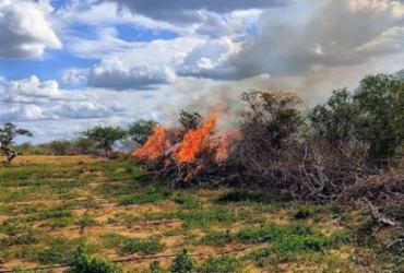 Trinta mil pés de maconha são erradicados em Campo Formoso