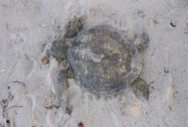Tartarugas marinhas são encontradas mortas em praias de Ilhéus