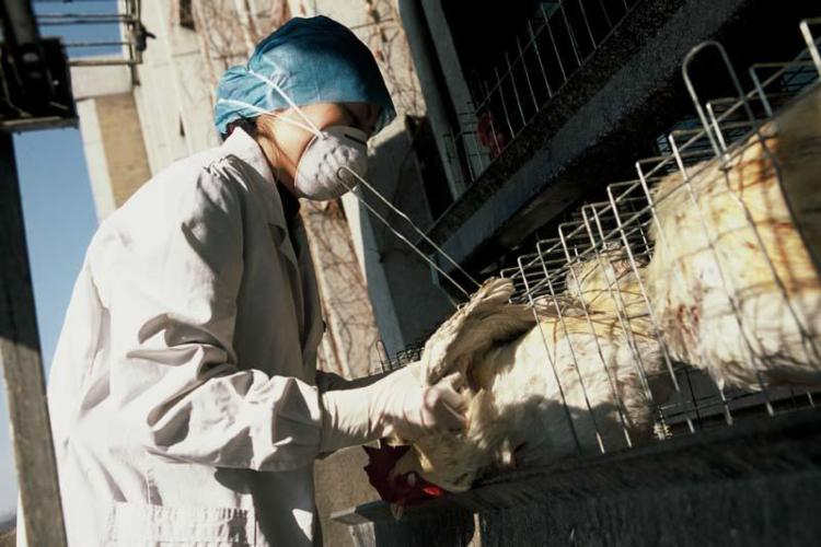 Surto de gripe aviária preocupa criadores de aves na Índia, mas não representa risco grave para humanos I Foto: Organização Mundial da Saúde (OMS) - Foto: OMS