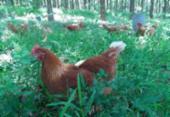 Rússia detecta primeiros casos de gripe aviária em humanos | Foto: Divulgação | Esalq