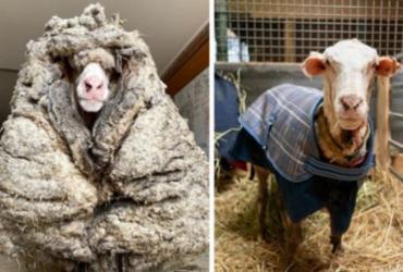 Ovelha encontrada em floresta produz mais de 35 kg de lã ao ser tosquiada | Reprodução | Facebook