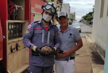 Tatu-bola é resgatado por Bombeiros dentro de casa em Barreiras