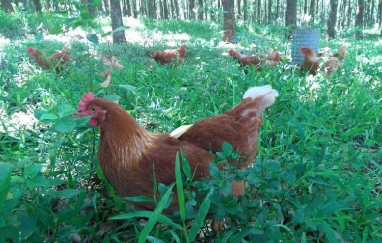 Além do H5N8, outros três tipos de gripe aviária afetam humanos - Foto: Divulgação | Esalq