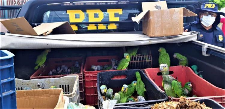 Filhotes de papagaio, periquitos e aves de outras espécies estavam mantidos aprisionados em cativeiro e preparados para serem comercializados nos estados de São Paulo e Rio de Janeiro | Foto: Divulgação | PRF - Foto: Divulgação | PRF
