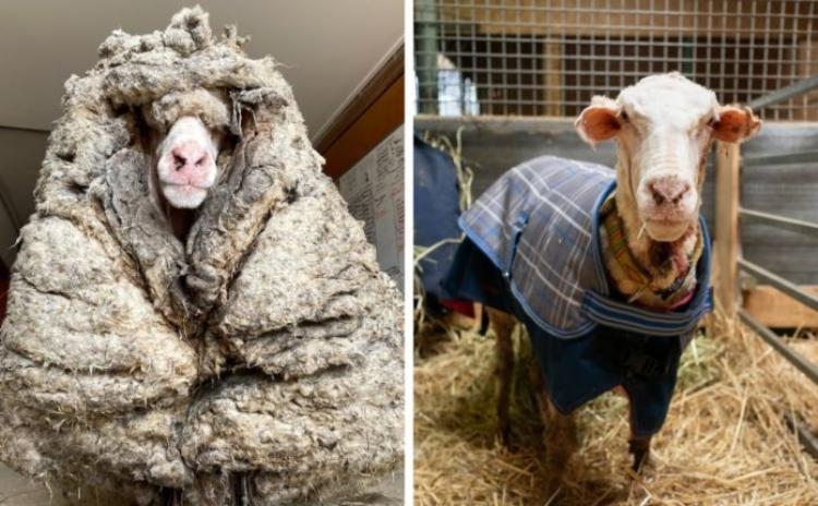 Ovelha estava doente, abaixo do peso e não enxergava | Foto: Reprodução | Facebook - Foto: Reprodução | Facebook