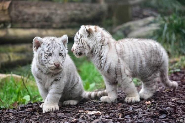 Filhotes estavam sendo tratados para panleucopenia felina, condição relativamente comum no país - Foto: Reprodução