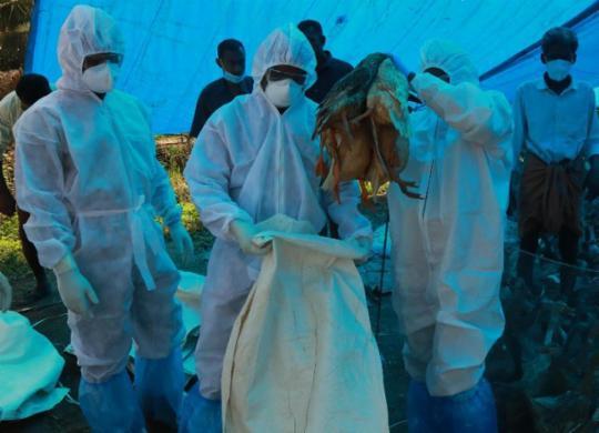 H5N8: primeiros casos de doença aviária em humanos preocupam? | Arunchandra Bose | AFP