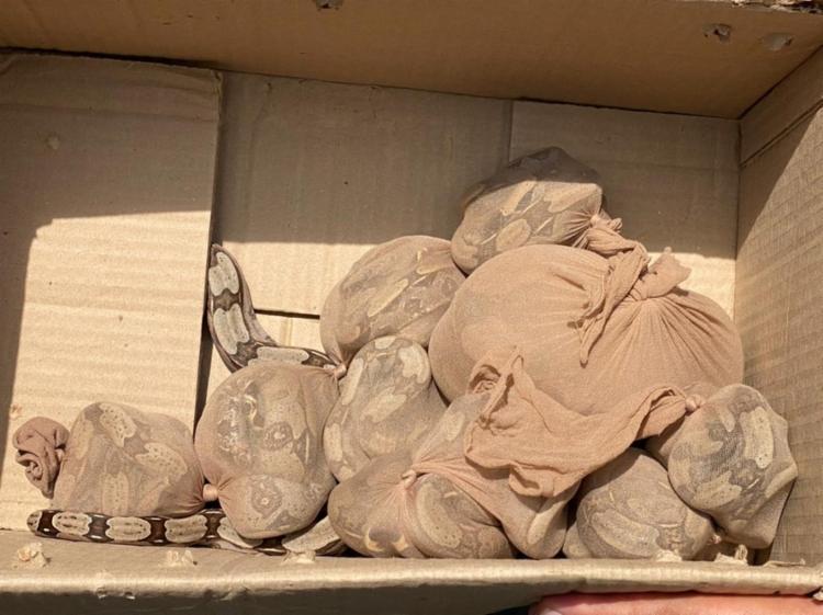 Polícia Ambiental foi acionada depois que cobras rasgaram a caixa I Foto: Reprodução - Foto: Reprodução