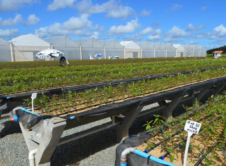 Viveiro Salgado conta com um moderno sistema de irrigação   Foto: Acervo Bracell - Foto: Acervo Bracell