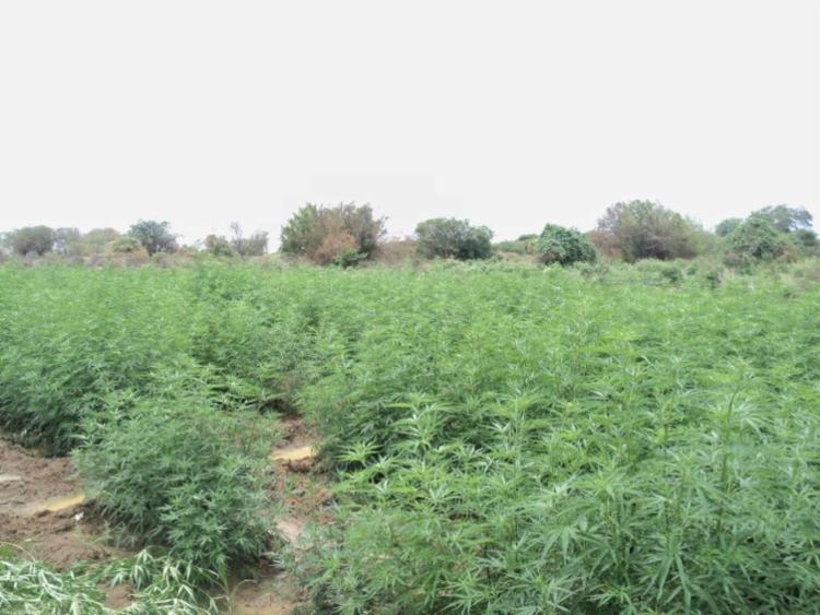 Local selecionado pelos criminosos facilita o processo de irrigação por alagamento | Divulgação | SSP - Foto: Divulgação | SSP