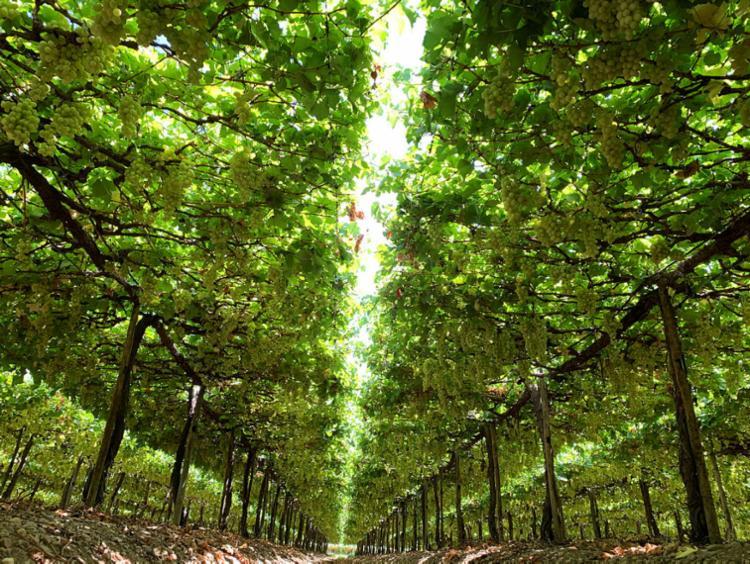 No vale São Francisco o maior polo de irrigação do país, produzindo frutas para o Brasil e o mundo, o agro não pode parar   Foto: Tássio Lustoza   Valexport - Foto: Tássio Lustoza   Valexport