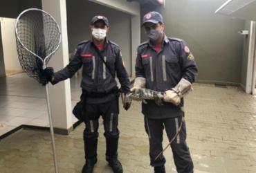 Iguana é resgatada pelos Bombeiros dentro de garagem residencial em Barreiras