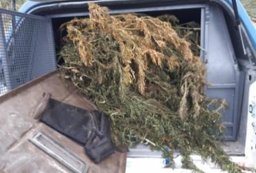 Seabra: Policia localiza mil pés de maconha prontos para comercialização