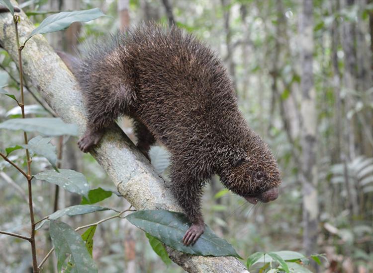 Três ouriços pretos passaram a ter a RPPN Lontra como lar | Foto: Acervo Bracell - Foto: Acervo Bracell
