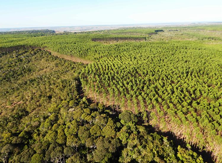 Plantio de eucalipto alternado com mata nativa | Foto: Acervo Bracell - Foto: Acervo Bracell