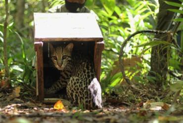 Após resgate, jaguatirica e outros animais são soltos na reserva RPPN Lontra | Divulgação