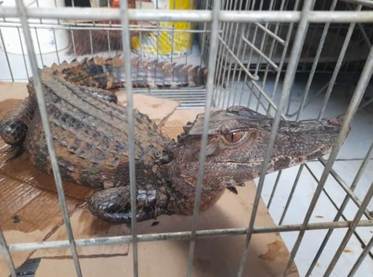 Animal mede aproximadamente 1,30m e pesa cerca de 6kg | Foto: Divulgação | GCM - Foto: Divulgação | GCM