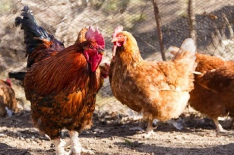 Galinhas e patos, podem ser portadores de salmonela   Foto: Reprodução   Freepik - Foto: Reprodução   Freepik