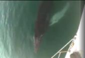 Filhote de baleia jubarte é flagrado por navegantes em Terminal Náutico de Salvador | Foto: Reprodução | Redes Sociais