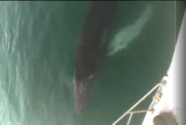 Filhote de baleia jubarte é flagrado por navegantes em Terminal Náutico de Salvador | Reprodução | Redes Sociais
