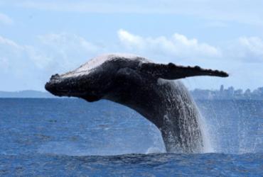 Baleias jubarte chegam 'mais cedo' e temporada de observação tem início em Salvador | Divulgação | Projeto Baleia Jubarte